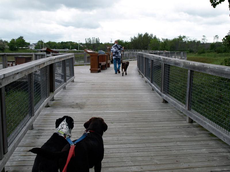 Dogs-along-the-walkway-Beresford-NB