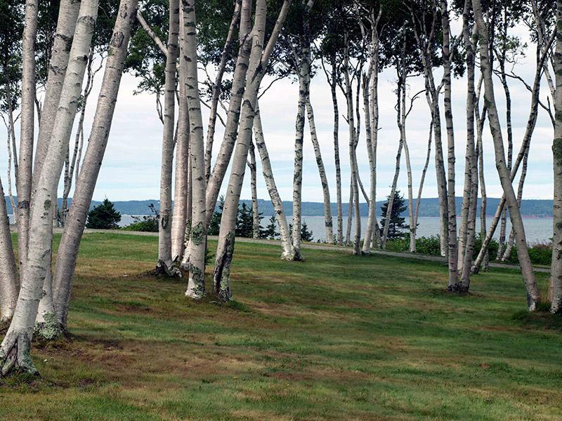canopy-of-birch-trees-Savary-Park-NS
