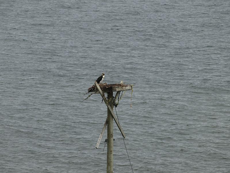 osprey-on-her-nest