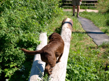 Chessey the dog crossing a log, Bridgetown, NS
